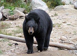 Fekete medve ölte meg egy alaszkai futóverseny fiatal résztvevőjét