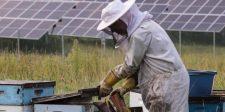Mi a kapcsolat a napelem és a méhek között?