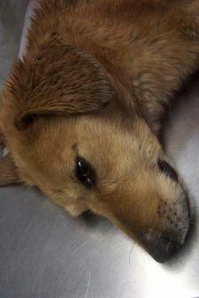 Félig megnyúztak egy kutyát a makói cigányok – a Szurkolók az állatkínzás ellen csoport a putrisorra vonul