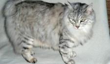 Kurili bobtail macska
