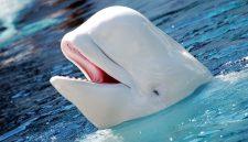 Egy norvég halász sietett egy fehér delfin segítségére