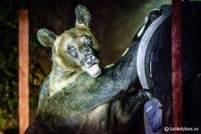 Újabb medvetámadás, ezúttal Brassó megyében marcangolt szét embert a ragadozó