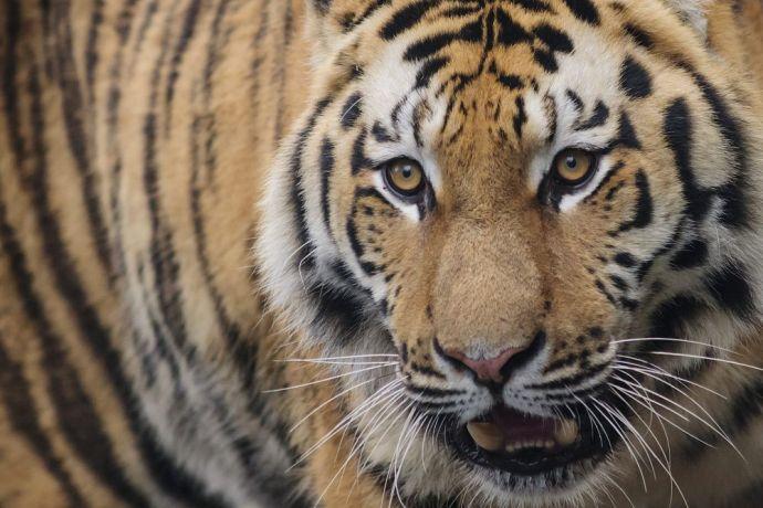 Tigrist csontoztak a kutyahúst árusító vendéglőben