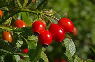 A legjobb roboráló gyógynövények