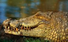 Tragédia: Gyermekével együtt falta fel az anyát a krokodil
