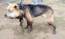 Letöltendő fogházra ítélték Fülöp kutya kínzóit. Az állatbarátok mégis felháborodtak