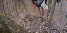 Most élőben nézheti a bekamerázott gemenci gólyafeszek első tojását