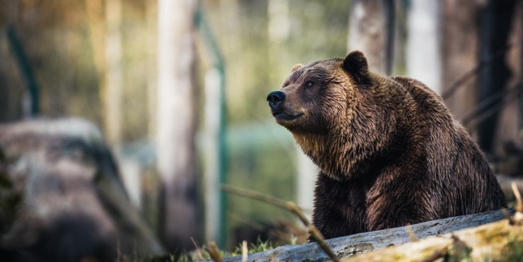 Hargita megye: idén eddig 343 esetben figyelmeztették a lakosságot medvék jelenlétére