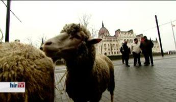 Birkákat hoztak a Kossuth térre, kétszázzal térhetnek vissza