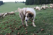 Székelyföld: A medvéknél is jobban riogatják a természetjárókat a pásztorkutyák