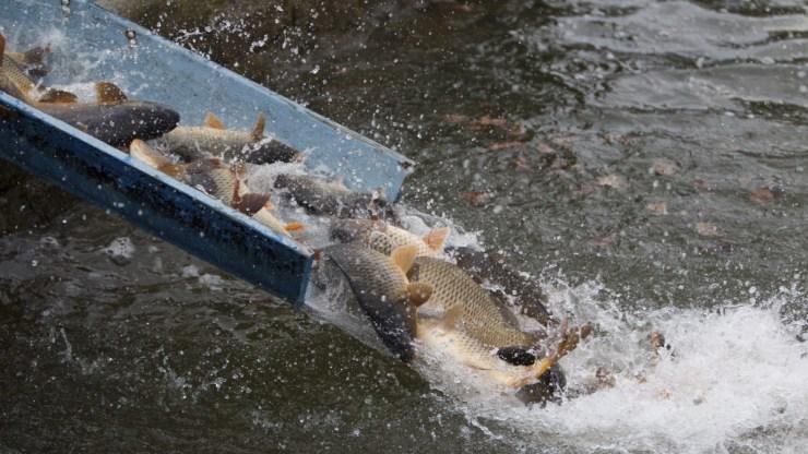 """Végre van """"Balatoni hal"""", még az unióban is elismerik"""
