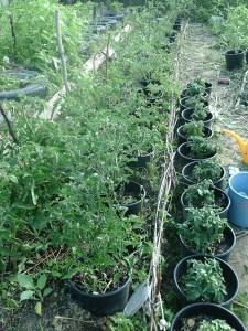Paradicsom, kicsit másképp – tippek egy bio kertésztől, Zelkától
