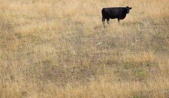 Nagyon érdekes dolgot figyeltek meg a teheneken
