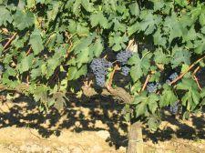 Több mint kétszáz szőlőtőkét tettek tönkre