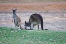 Milliószámra hullanak a kenguruk Ausztráliában