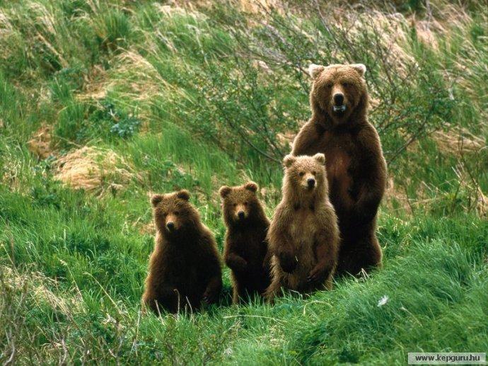 Befogtak egy kukázó medvecsaládot Tusnádfürdőn