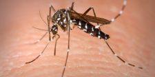22 féle vírust terjeszt a most Magyarországon is megjelent ázsiai tigrisszúnyog