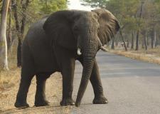 VIDEÓ: turistákat üldöz egy dühös elefánt