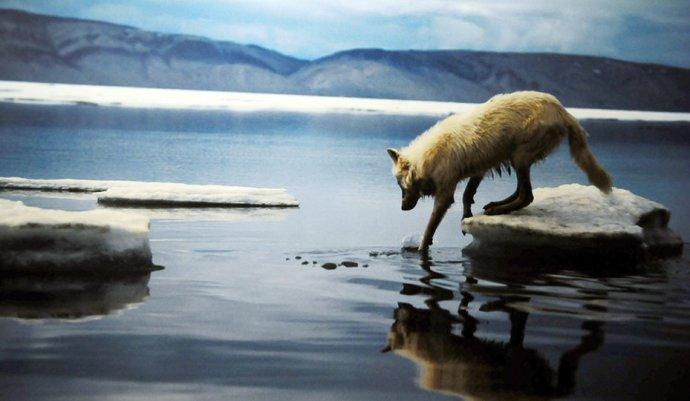 Európában egyre több a farkas, medve, patkány és rozsomák