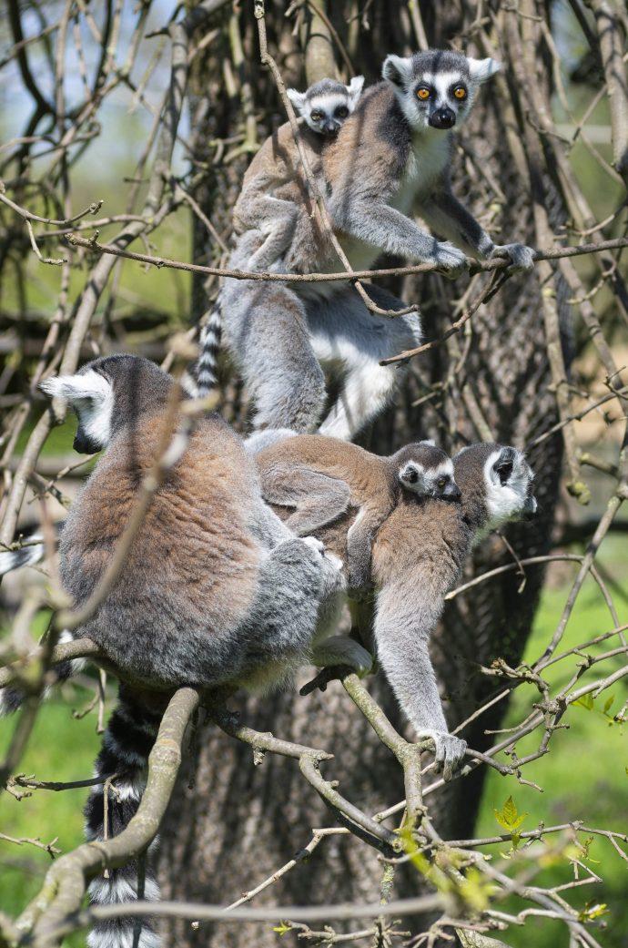 Madagaszkári fajta Nyíregyházán
