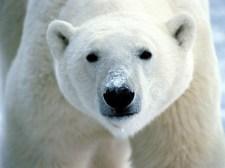 Miért nem lesz szívbeteg a jegesmedve?