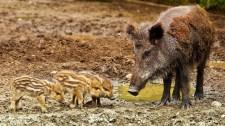 Tömeges vaddisznópusztulás Budapest határában, itt a sertéspestis
