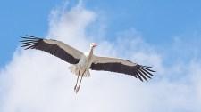 Visszatért Suri, a gólya