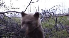 Média: Egy bocsait védő medve támadt két vadászra Kanadában – az egészet felvették kamerával