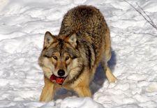 Nyolcvan farkasnak lőttek