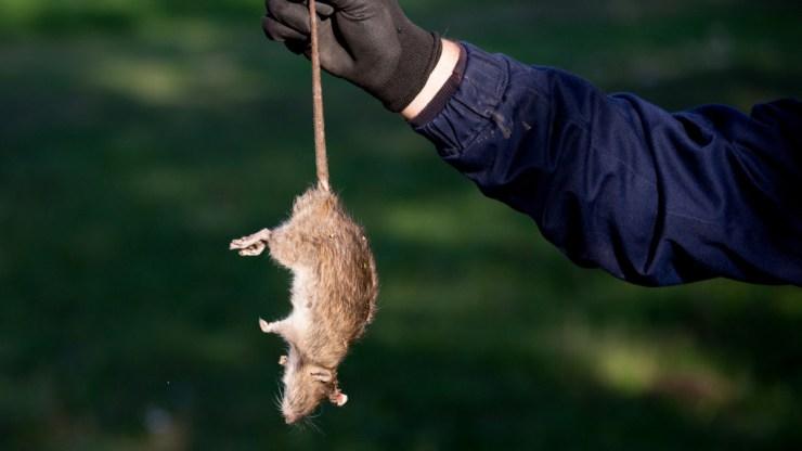 Döntött a Kúria a fővárosi patkánytender ügyében