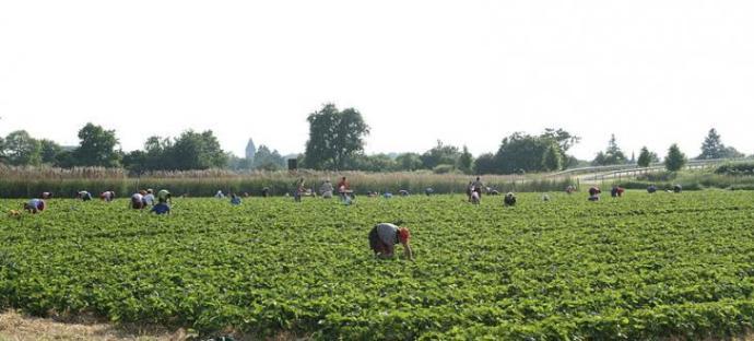 A szüretelést segítők hiánya miatt elrothad az eper. Hol vannak a migránsok?
