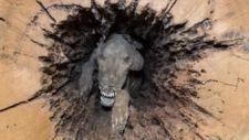 Mumifikálva került elő a fatörzsből egy kutya