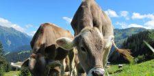 Megtalálhatták a megoldást a pukizó és böfögő tehenek gaztetteire
