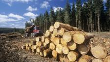 Katasztrófa fenyeget: a kínaiak szép csendesen kivágják a szibériai erdőket. A tajgából lassan pusztaság lesz
