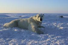 52 jegesmedve ólálkodik egy orosz falu körül