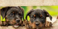 Kim Dzsongun utasítást adott a kutyák elkobzására Észak-Koreában