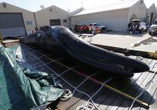 Egy partra vetődött bálnatetem felrobbanásától tartanak Új-Fundlandon