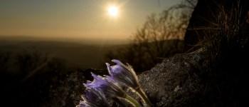 A kökörcsin az egyik legszebb tavaszi virágok egyike