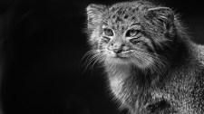 Kipusztulhat a vadmacska Magyarországon – elő a macskafogóval!