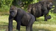 Pozitív lett az atlantai állatkert gorilláinak koronavírus-tesztje