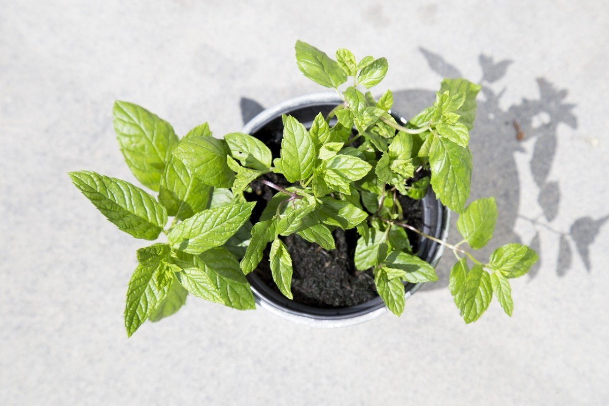 Why I named my mint plant Northampton