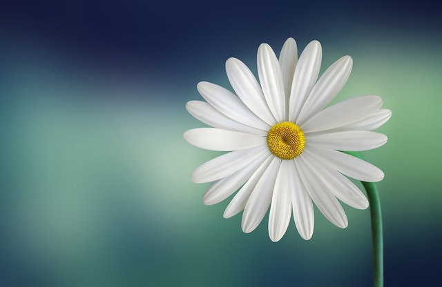 white-and-yellow-flower-with-green-stems-36764