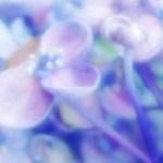涼しげな紫陽花(アジサイ)