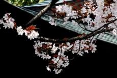 和風建築と桜の写真素材