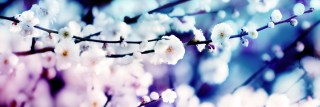 咲き初めの白梅(3パターン)