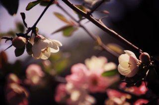 【高解像度】向かい合う白い木瓜(ボケ)(3パターン)