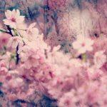 【高解像度】妖艶な桜(3パターン)