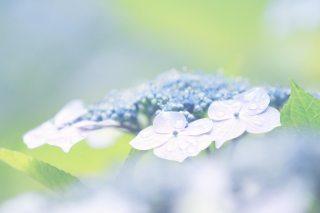 【高解像度】露に濡れる淡い額紫陽花(ガクアジサイ)(3パターン)
