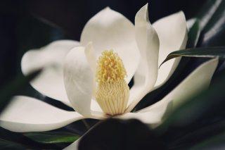 【高解像度】花開く泰山木(タイサンボク)(3パターン)