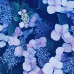【高解像度】幻想的な雰囲気の額紫陽花(ガクアジサイ)(3パターン)